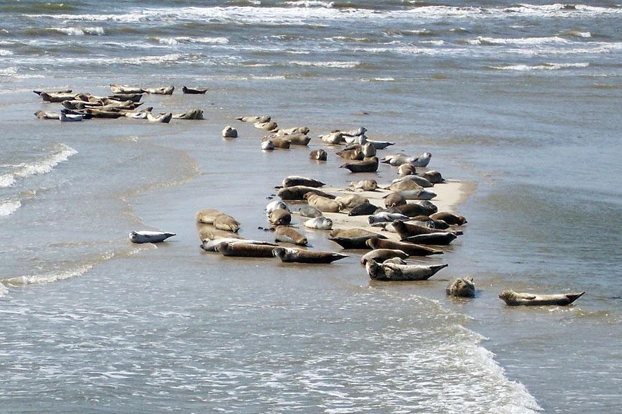 Seehundwanderung - Spülsaum - Strandspaziergang - Watthanse