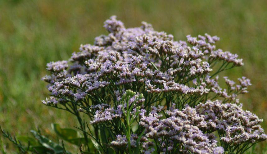Pflanzen der Salzwiesen – Strandflieder