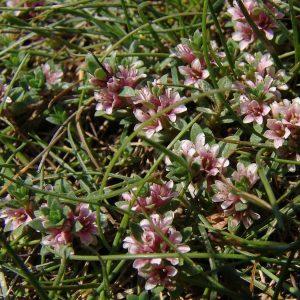 Pflanzen der Salzwiesen – Milchkraut