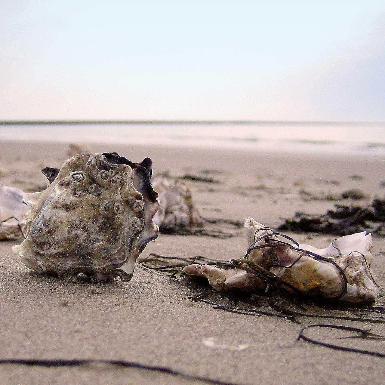 Pazifische Felsennestern im Wattenmeer
